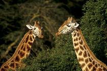 Rothschild giraffe browsing (Giraffa camelopardalis rothschildi) by Danita Delimont