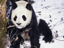 Giant Panda in winter snow at Wolong Nature Reserve by Danita Delimont