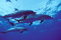 Bahamas Spotted dolphins von Danita Delimont