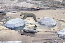 Polar bear leaping across floating ice von Danita Delimont