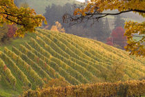 Vineyard in the fall von Danita Delimont