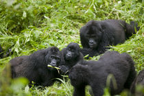 Mountain Gorilla troupe (Gorilla gorilla beringei) in rainforest von Danita Delimont