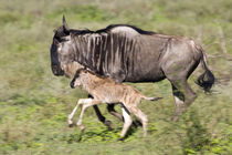 Wildebeest mother and baby at Ndutu in the Ngorongoro Conservation Area by Danita Delimont