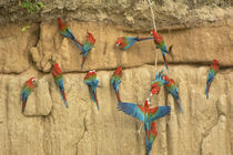 Red and green macaws eating clay at clay lick by Danita Delimont