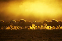 Wild Kiger mustangs kicking up dust at sunrise by Danita Delimont