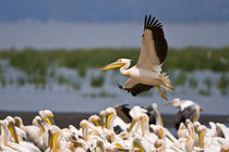 White Pelicans on the shore of Lake Nakuru von Danita Delimont