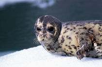 Le Conte Glacier Close-up of baby harbor seal von Danita Delimont