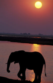 Elephant (Loxodonta africana) silhouetted against river at sunset by Danita Delimont