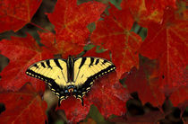 Tiger Swallowtail on maple leaves (pterourus glaucus) by Danita Delimont