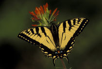 Tiger Swallowtail on Indian Paintbrush (Papilio glaucus / Castilleja coccinea) by Danita Delimont