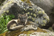 Blue phase Arctic Fox by Danita Delimont