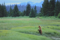 Grizzly bear cub feeds on sedges in a salt water marsh von Danita Delimont