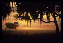 Sunrise silhouette of trees with Spanish moss von Danita Delimont