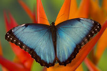 Sammamish Washington Tropical Butterfly photograph of Male Morpho grandensis the Common Blue Morpho on Heliconia von Danita Delimont