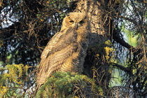 An immature great horned owl (Buo virginianus) sits in a spruce tree von Danita Delimont