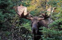 Bull Moose (Alces alces) by Danita Delimont