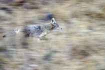 A coyote runs through the hillside blending into his environment by Danita Delimont