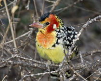Close-up of red and yellow barbet perched on tree limb von Danita Delimont