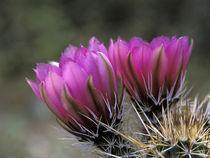 Hedgehog cactus by Danita Delimont