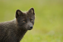 Blue phase Arctic Fox von Danita Delimont