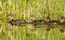 Immature mallard ducks float in Lazy Creek near Whitefish Montana von Danita Delimont