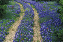 Tracks in blue bonnets by Danita Delimont
