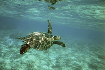Young turtle swimming underwater on coral reef by Danita Delimont