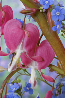 Detail of bleeding hearts and Brunnera Jack Frost flowers von Danita Delimont
