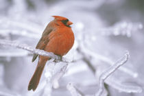 Male northern cardinal on limb after ice storm by Danita Delimont