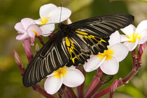 The Golden Birdwing (Troides aeacus malaiianus) by Danita Delimont