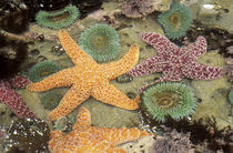 Giant green anemones and ochre sea stars by Danita Delimont