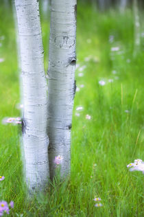 Aspens and Wildflowers by Danita Delimont
