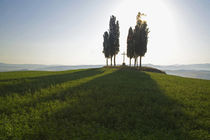 Cypress Trees in Tuscany with Cross by Danita Delimont