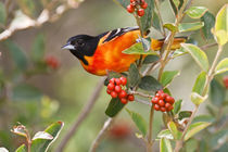 Baltimore Oriole (Icterus galbula) male feeding on fiddlewood von Danita Delimont