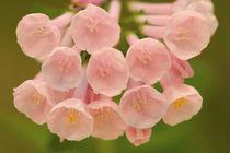Closeup of pink bluebells von Danita Delimont