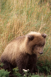 Young grizzly bears leave the den with the mother in spring by Danita Delimont