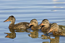 Four Mallards (Anas platyrhynchos) von Danita Delimont