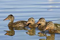 Four Mallards (Anas platyrhynchos) by Danita Delimont