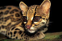 Margay (Leopardus weidi) portrait von Danita Delimont