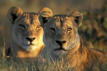 Lionesses (Panthera leo) lie in tall grass in Savuti Marsh at sunrise by Danita Delimont