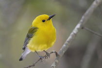 Close-up of male prothonotary warbler on branch by Danita Delimont