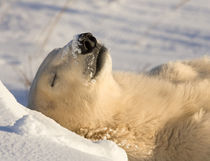 Sleeping polar bear by Danita Delimont