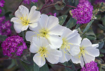 Evening primrose and sand verbena von Danita Delimont
