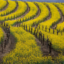 Springtime bloom of mustard between rows of grapevines by Danita Delimont