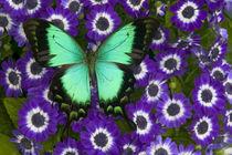 Papilio lorquinianus albertisi swallowtail von Danita Delimont