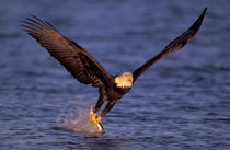 Kenai Peninsula Bald eagle catching fish out of ocean von Danita Delimont