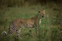 Leopard (Panthera pardus) hunting von Danita Delimont