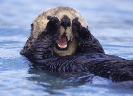 Quot Sea Otters Are The Largest Members Of The Weasel Family