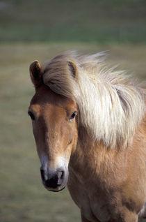 Icelandic Pony by Danita Delimont