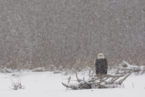 Bald eagle (Haliaeetus leucocephalus) in snow storm by Danita Delimont